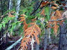 Frunzisul maroniu la conifere