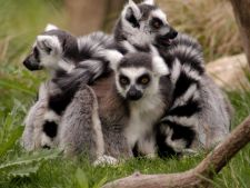 Tot ce nu stiai despre lemurul din Madagascar