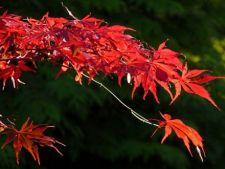 Cele mai frumoase specii de artar japonez