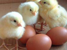 Din 2012, mancam oua mai sanatoase