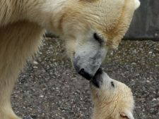 Viata ursilor polari