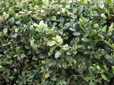 Buxus, arbust perfect pentru un gard viu