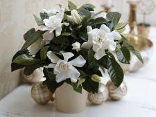 Cum sa ingrijesti gardenia