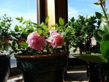 Cum sa cresti trandafiri pitici in ghiveci