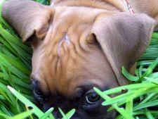 De ce mananca iarba cainele meu?