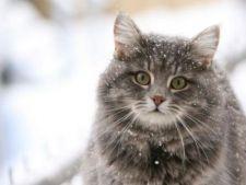 Ce faci daca ingheata urechile pisicii?