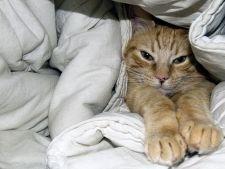Cum sa previi si sa tratezi caderea parului la pisica