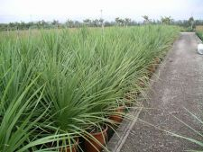 Cum sa ingrijesti Cordyline australis, palmierul varza