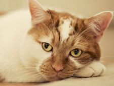 Cum sa identifici si sa tratezi constipatia la pisici