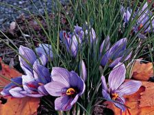 Sofranul, o planta folositoare pentru gradina ta