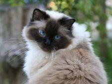 Sfaturi de ingrijire pentru o pisica din rasa Ragdoll