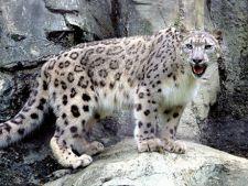 Leopard de zapada