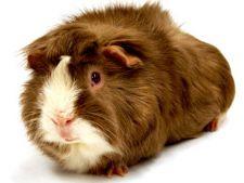 Lucruri interesante despre porcusorii de guineea