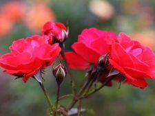 Cum previi problemele tufelor de trandafiri