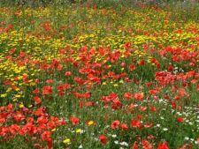 Gradina multicolora cu flori de camp