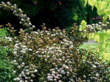 Arbusti ornamentali pentru gradina