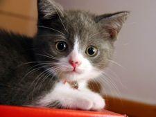 S-a descoperit un virus nou si fatal pentru pisici
