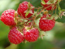 Arbusti fructiferi pentru gradina
