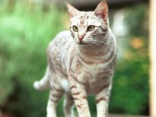 Cum reusesc pisicile sa supravietuiasca atunci cand cad de la inaltimi mari