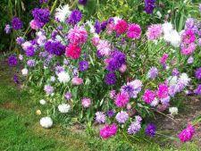 Flori nepretentioase de gradina, care cresc usor