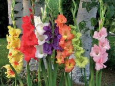 Cum ingrijesti florile de vara cu bulbi