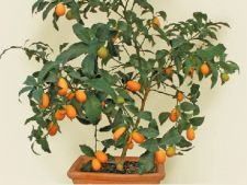 Kumquat, un pom fructifer exotic in gradina ta
