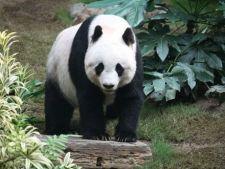 Jumatate dintre ursii panda vor disparea in 70 de ani