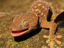 Ingrijirea soparlelor Gecko