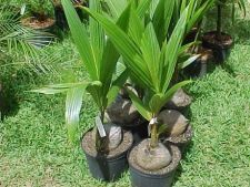 Cum ingrijesti un palmier de cocos (cocotier)
