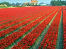 Olanda mentine restrictiile pe piata muncii pentru romani