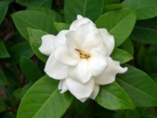 Arbusti care tolereaza umbra