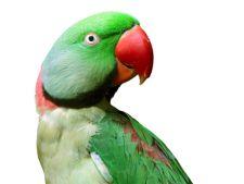 Ingrijirea papagalului Marele Alexander