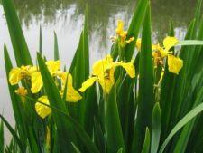 Iris pseudacorus, stanjenelul de balta