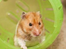 Iisus, hamsterul care a inviat din morti dupa ce a fost ingropat