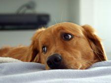 Piometrul la caini - simptome, prevenire si tratament