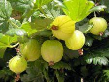 Cum ingrijesti un agris pentru a avea o recolta bogata