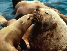 Leii de mare Steller ies din lista speciilor pe cale de disparitie