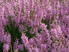 4 plante de sezon care atrag polenizatorii in gradina ta