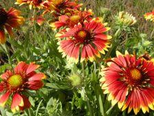 Cum ingrijesti floarea Gaillardia aristata