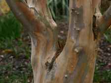 Copaci cu scoarta ornamentala