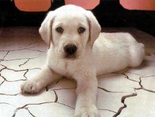 Curatarea urechilor la caini