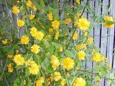 Cum ingrijesti arbustul decorativ kerria japonica