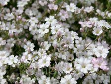 Cum cresti gypsophila, floarea miresei