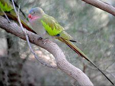 Ingrijirea papagalilor Printesa de Wales