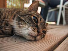 Leucemia la pisici - simptome, prevenire si tratament