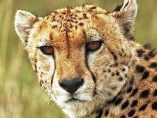 Animalele cu ochii mari sunt mai rapide