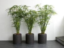 Cyperus, planta papirus