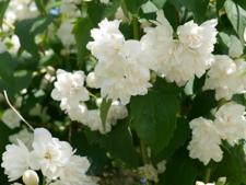 Cum cresti iasomia cu flori duble