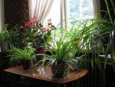 Cum iti imbunatatesc plantele de apartament viata
