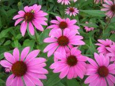 Plante medicinale in gradina proprie
